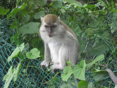 0415 Monkeys in Lake Gardens (2)