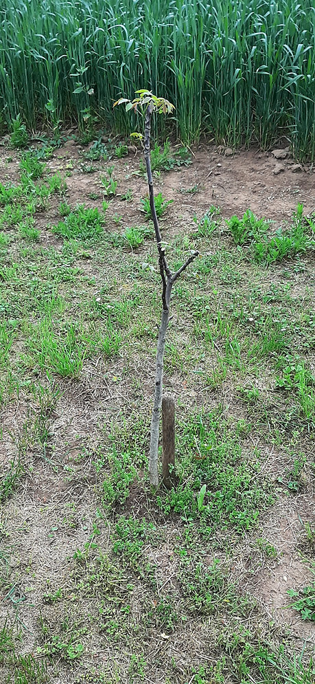 Nußbaum Jentsch.jpg