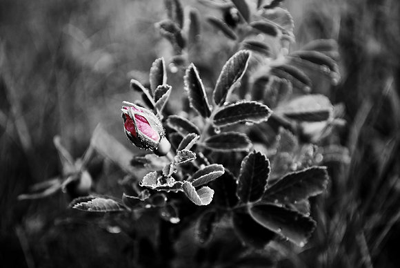 Rainy Day Rosebud