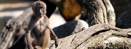 animales-mono
