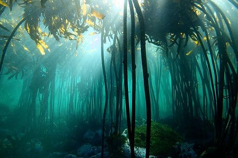 My Octopus Teacher_kelp forest_Craig Fos