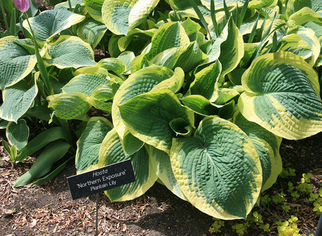 Free Hostas from the Cokato Museum Garden Committee