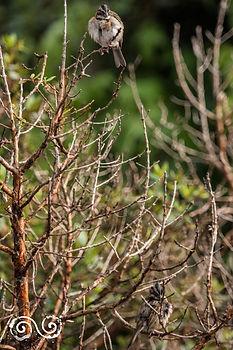 Pareja de Zonotrichia capensis.jpg