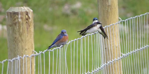 Blue Bird keeping an eye on the swallows_edited.jpg