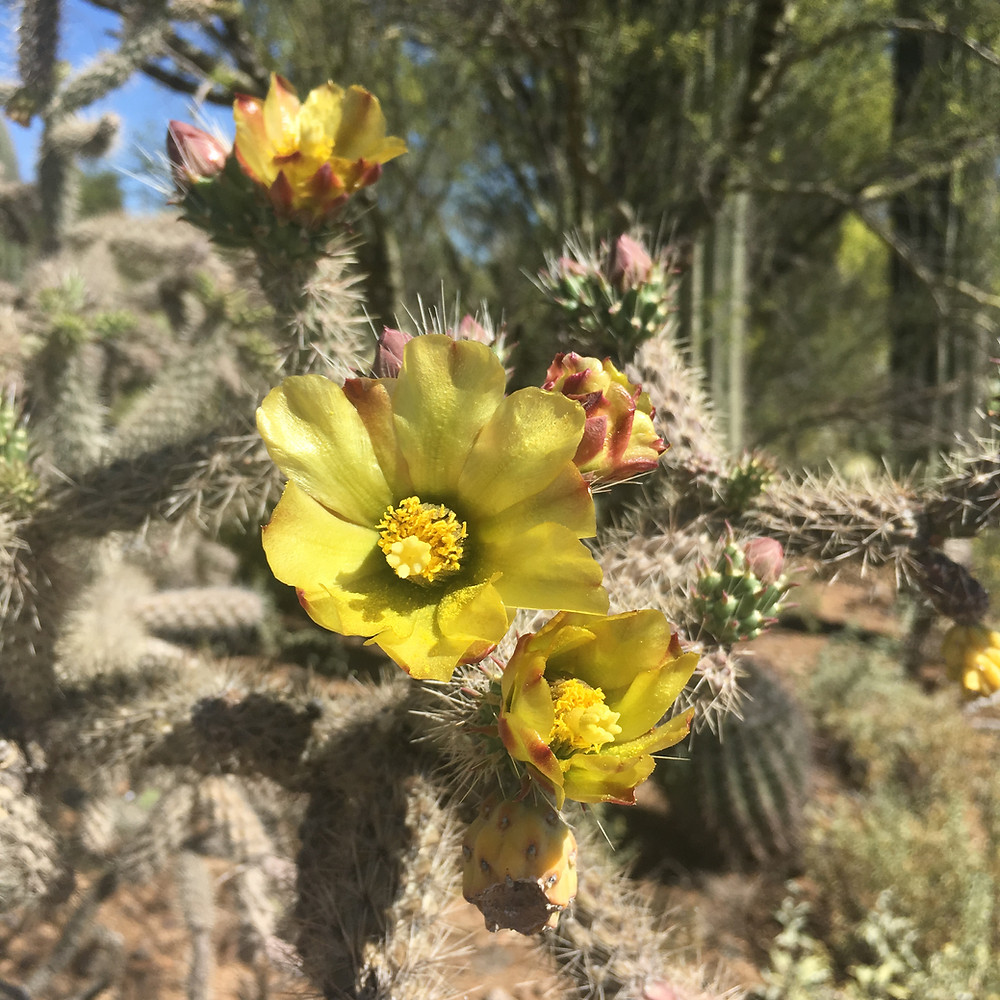 Tucson prickly pear cactus flowers