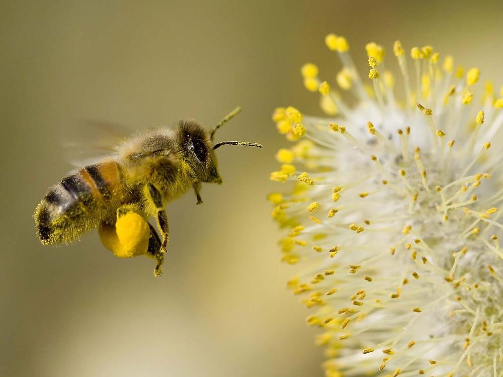 Honeybee flying toward flower