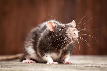 Pollards Pest Control Rats