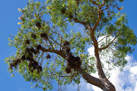Baobab with flowers and weaver nests