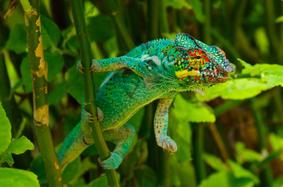 Furcifer or panther chameleon