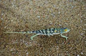 Spiny chameleon