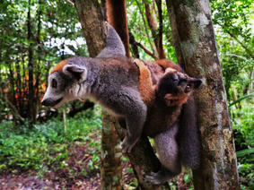 Crowned lemur with baby around her waist