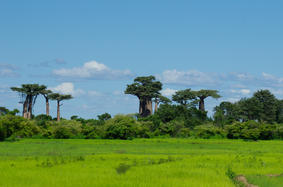 A few baobabs, the only trees left from what once was a rich tropical forest
