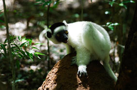Sifaka or dancing lemur eating termites on a nest