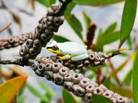 Sky-blue reed frog