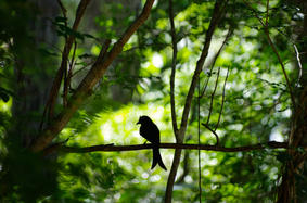 Crested drongo against the light