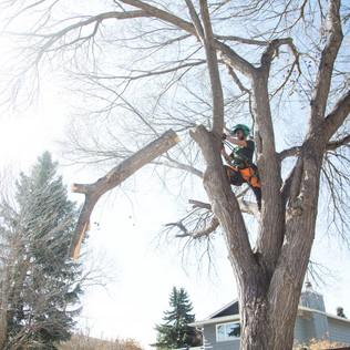 Tree Services Calgary - 43 - Evergreen L