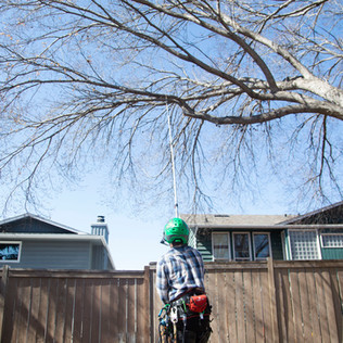 Tree Services Calgary - 06 - Evergreen L
