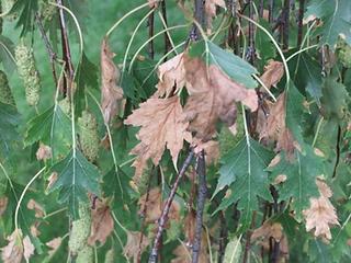 Leaf Miner Birch Trees.png