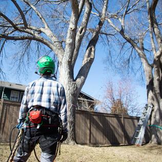 Tree Services Calgary - 04 - Evergreen L