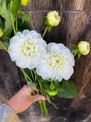 Dahlia-Orsett Beauty