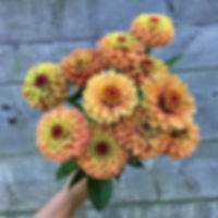 Queen orange lime zinnias really are spe