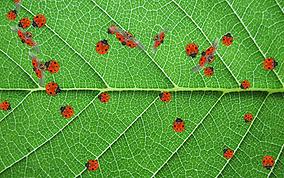 ladybug leaf.png