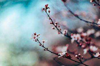 Fleur de cerisier ave des boureons