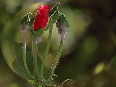 Roses en famille (5).jpg
