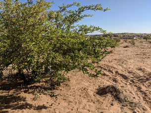 Alex Quiyo - Tree Orchard Restoration