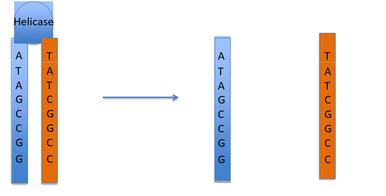 Step 1: DNA is a double helix