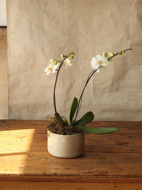 Orquídea Phalaenopsis Doble Vara Blanca