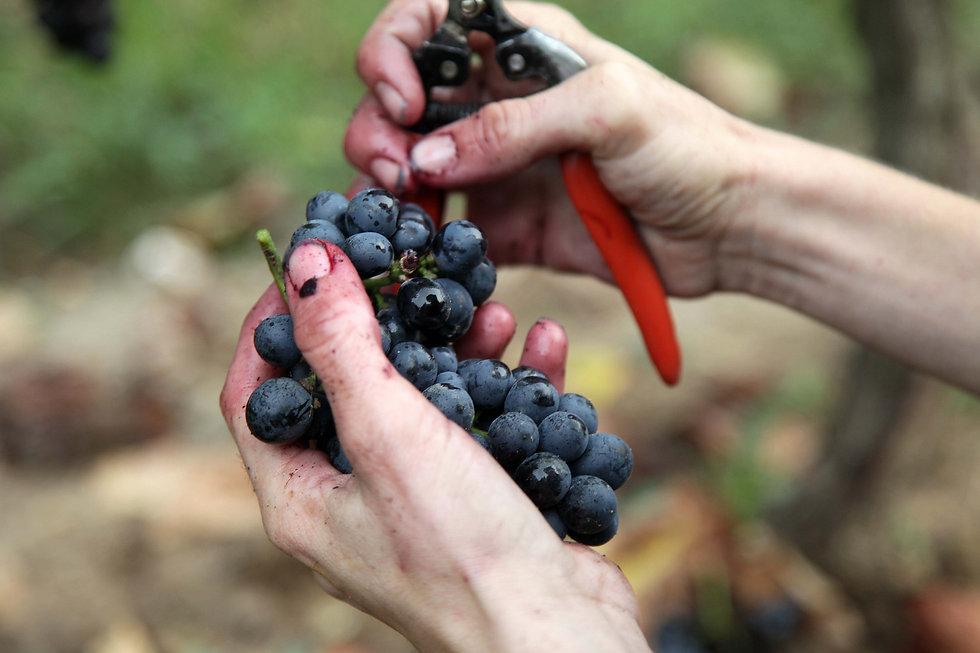 grappe-raisins-main-chateau-viguerie-his