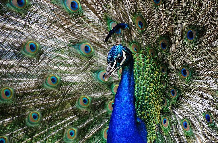peacock-3725036_1920_edited.jpg