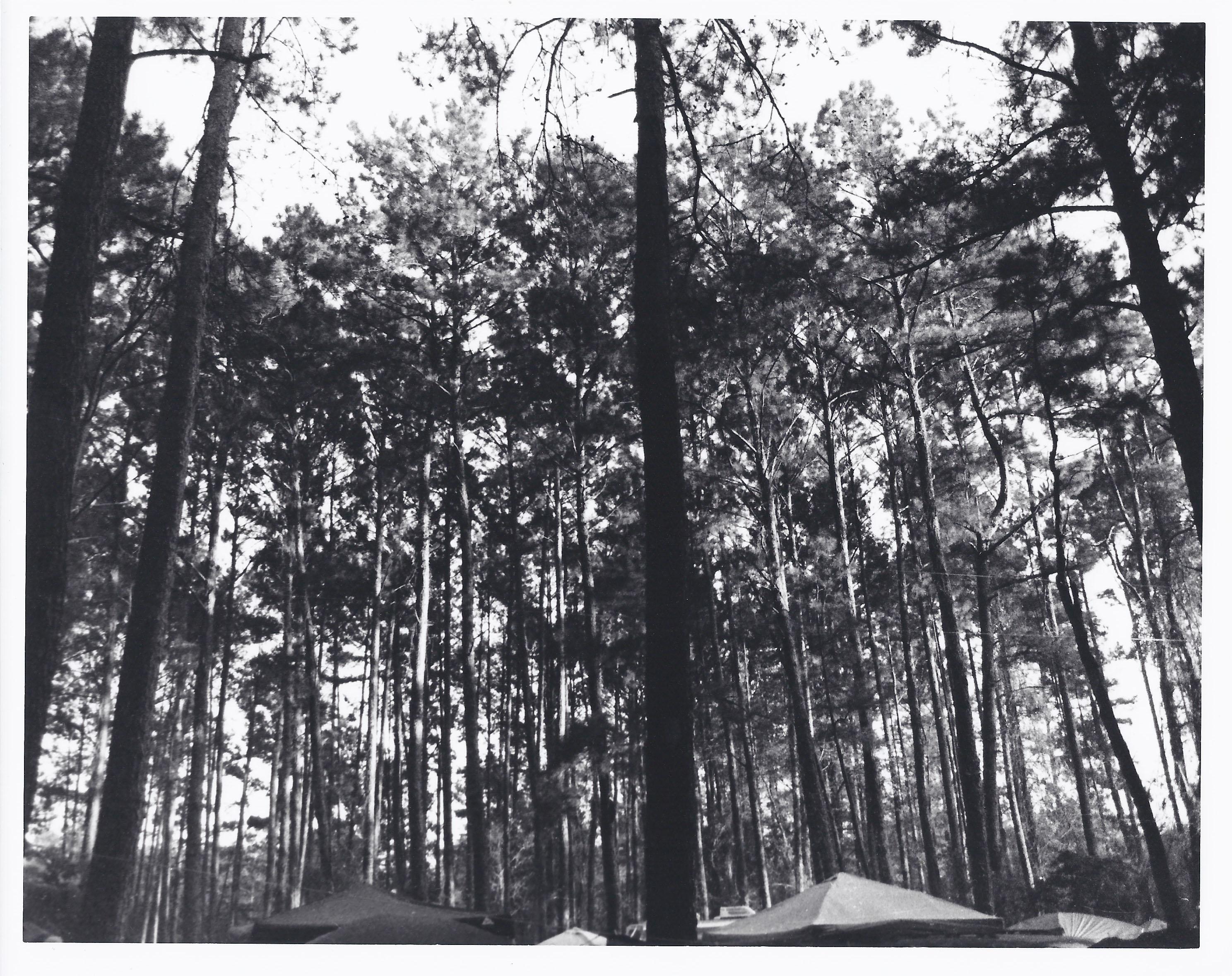 Trees Hulaween