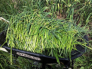 garlic-scapes-for-sale.jpg