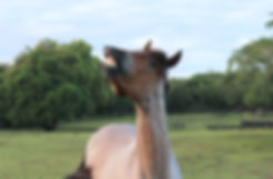 flehmen levre cheval ethologie phéromones vomero nasal jacobson