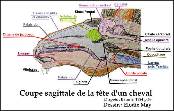 coupe tete cheval goût odorat anatomie chevaux crane cerveau ethmoide jacobson