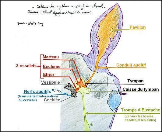 anatomie tete cheval schéma audition ouïe oreille crane