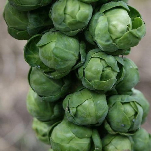 BRUSSELS SPROUT (LONG ISLAND IMPROVED)