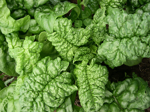 SPINACH (LONGSTANDING BLOOMSDALE)