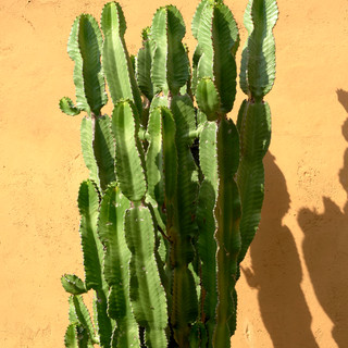 Cactuswall.jpg
