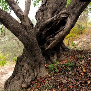 ancientcarobtree_edited.jpg