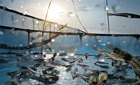 aquacultureshrimp.jpg