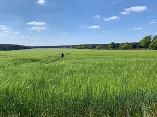 Bert in Barley May 20.jpg