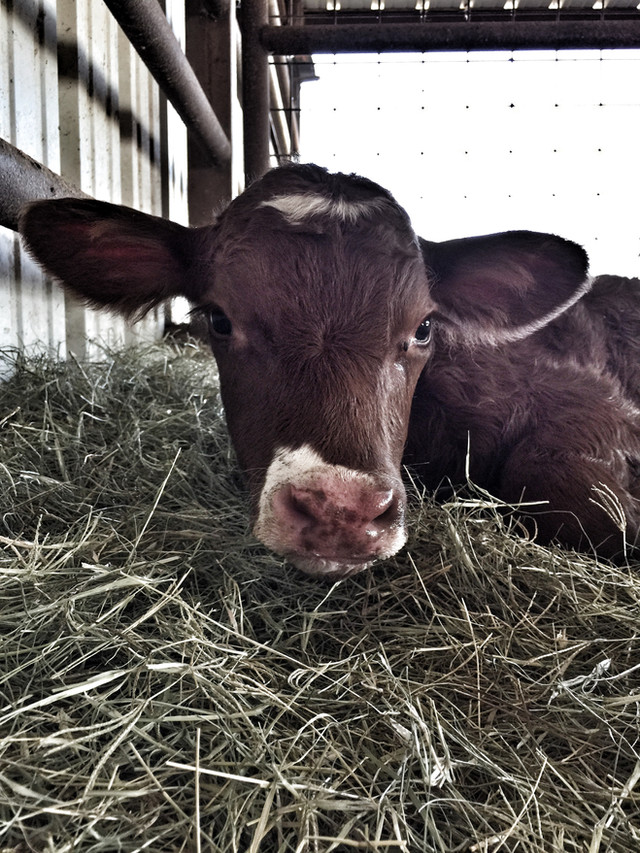 Life Lessons from a Bottle Calf