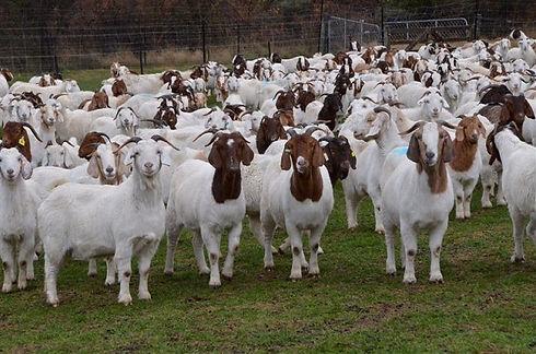 goat-farming.jpg