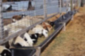 Sheep-RFP-061118-9-3-1240x826 (1).jpg