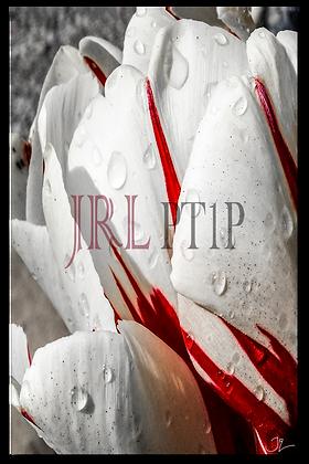 Portrait Wall Art - Tulip Raindrops