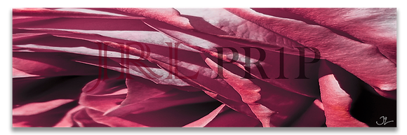 Panoramic Wall Art - A Flower Named Rose