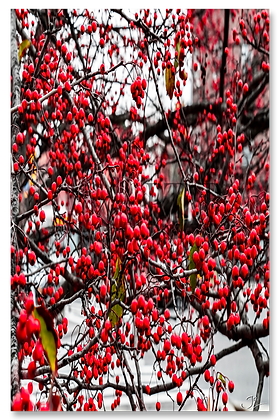 Portrait Wall Art - Red Berry Invasion